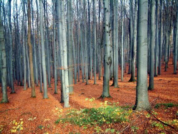 Vétyemi ősbükkös